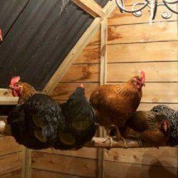 Găinile într-o cooperare pui