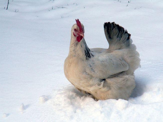 pui de mers pe jos în zăpadă