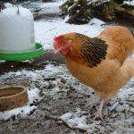 Hen de mers pe jos în timpul iernii