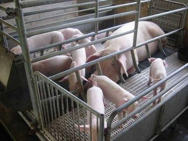 De porc într-un stilou