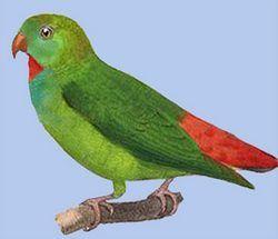 Noduros exilis popugaychikloriculus verde agățat