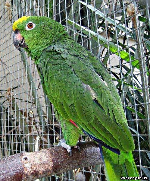 Surinam amazonamazona ochrocephala