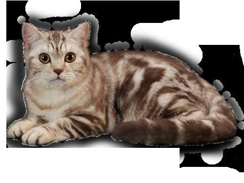 Цвят котка, британска