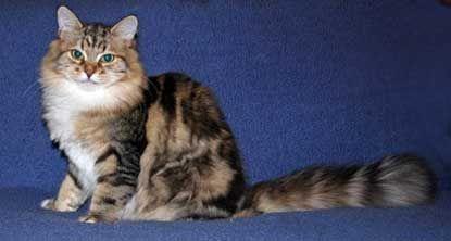 Ragamuffin mačka farba tabby