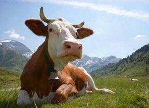 Misterul de stomac de vacă