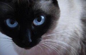 Prečo sa pozerať do očí mačky