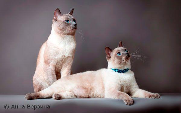 apariția de pisici thailandeze