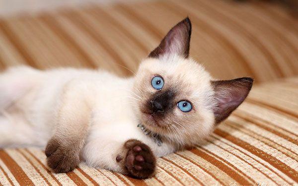 grijă de pisici thailandeze