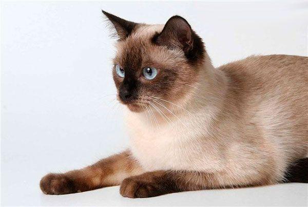 pisică gravă Thai