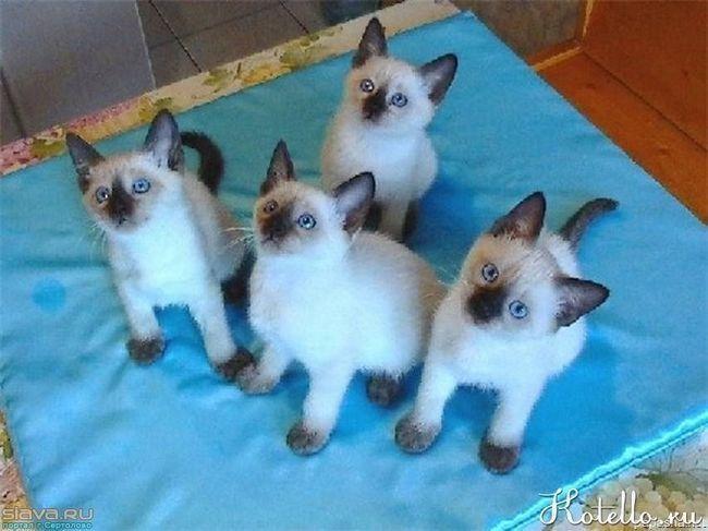 Thajská mačka plemena
