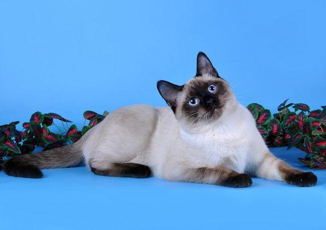 pisici thailandeze și siameze