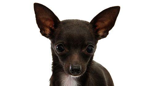 Dakle, da li je potrebno da se zaustavi uši i rep psa?