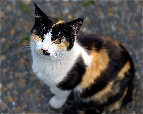 Костенуркова котка. Снимка, снимка, картина на животните