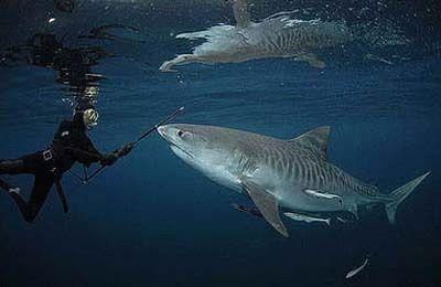 Izgled Tiger Shark