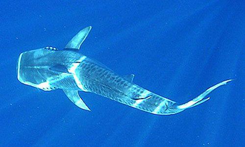 Pogled na tiger shark vrh