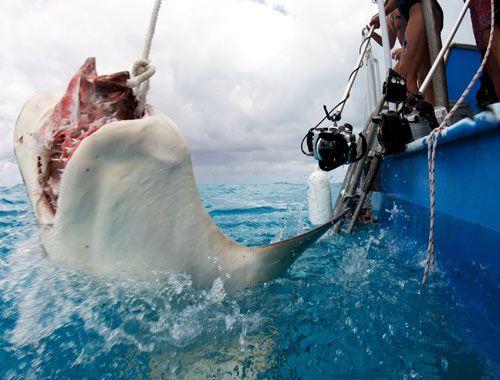 Tiger shark jede mamac