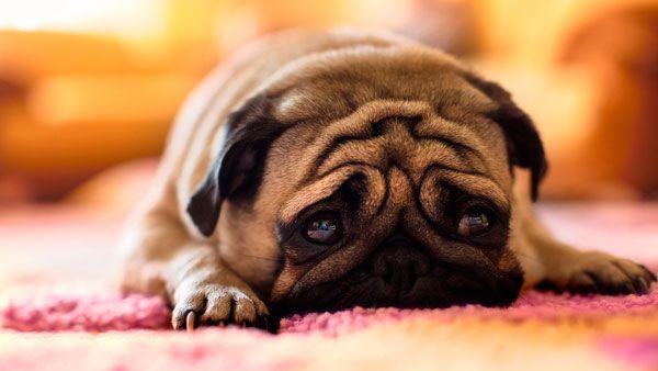 câine trist