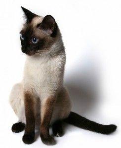 Tonkinese котка