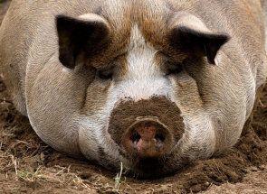 Vrh 7 najbolje meso pasmine svinja
