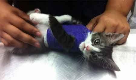 Наранявания на гръдния кош при котки.