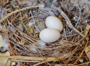 Допирът процеса на инкубиране в гълъби