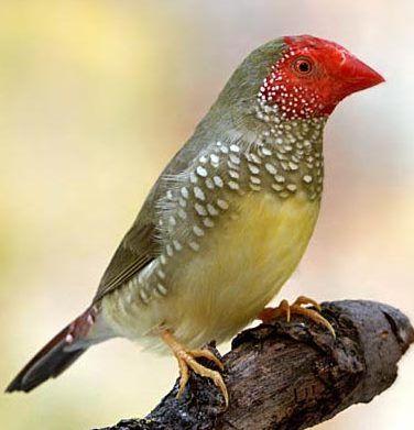Stea Finch bathilda ruficauda