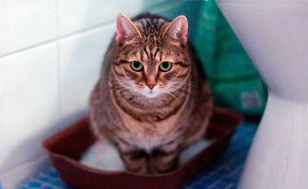 Mačacie hnačka: ako zaobchádzať s žalúdočnú nevoľnosť zvieratko