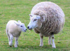 Ste sa narodil dieťa ovce? Naučte sa hovoriť