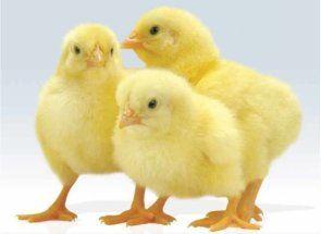 Aflați cum să identifice identitatea sexuală în pui de găină tineri
