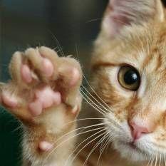 Ghearelor pisici: cum consecințele, alternativele la eliminarea