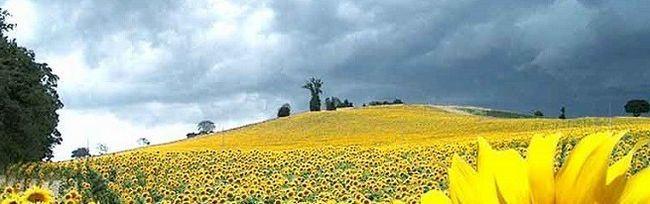 Hnojivo pre zvýšenie výťažku slnečnice a herbicídy na kontrolu buriny