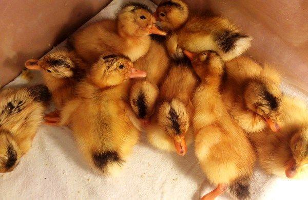 Briga za mlade patkice