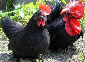 Обзавеждане на селския двор - характеристика на пилета Bantam порода