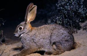 Eared braće u prirodi, ili jednostavno divlji zečevi
