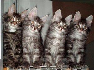 Котешки уши