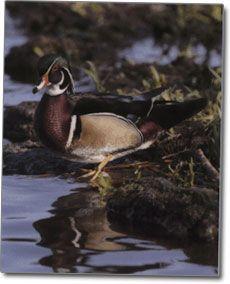 Wood Duck fotografija