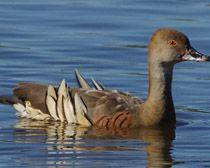 Eaton Wood Duck