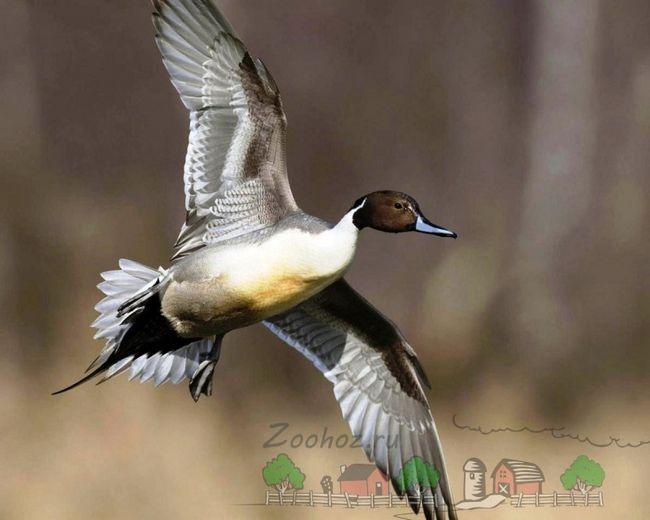 Fotografije leti muško Pintail