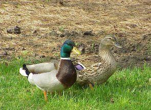 Ducks Baškirski rase - ko su oni?