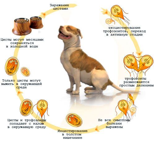 Aké sú nebezpečenstvá a ako sa zbaviť Giardia u psov?