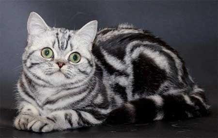 Pisica britanica cu blana de culoare tabby