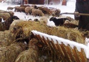 Ovce Prívodný žliabok na seno