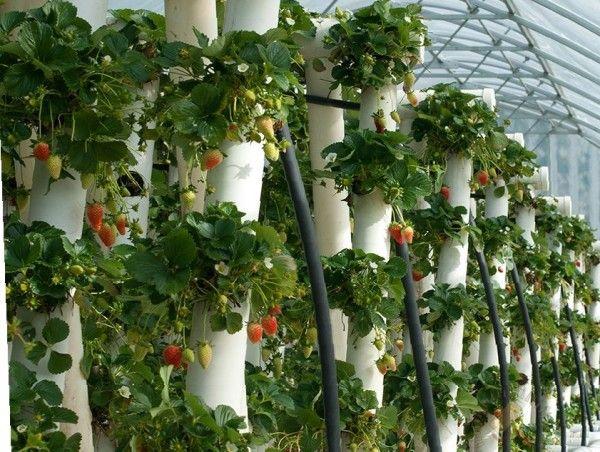 Vertikalni grebeni za jagode sa rukama Foto