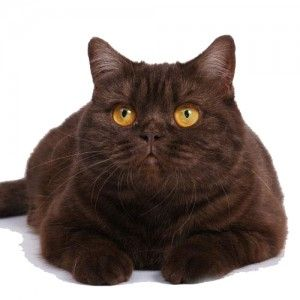 Тегло Британска котка