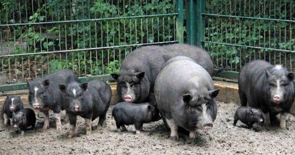 Pot-bellied svinja njegu i održavanje