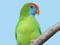 Agățat papagal Camiguin Island (loriculus camiguinensis)