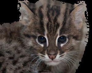 Zibeta pisică - pescar