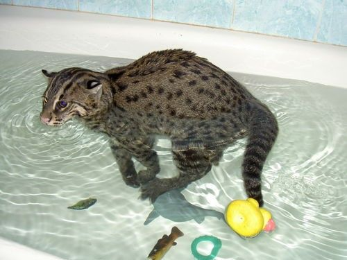 Zibeta pisică pescar