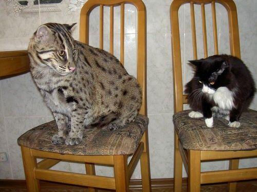 pisica zibeta