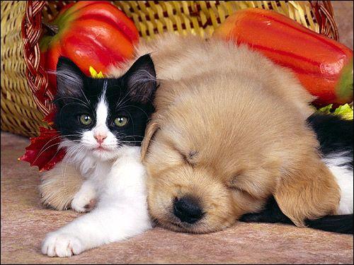 Čierne a biele mačiatko a spiace šteňa. Fotografie, obrázok, animal picture